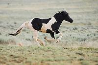Mustang Horse (Equus caballus), adult running, Pryor Mountain Wild Horse Range, Montana, USA