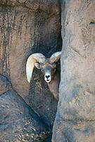 Dall Sheep with large horns peeks from between rocks, Arizona USA