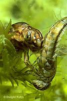 1E11-036x  Mayfly - nymph eating prey (mayfly) -  Siphlonisca aerodromia - endangered insect found in floodplain of Maine stream