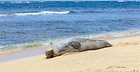 "A Hawaiian monk seal rests ""tummy up"" at Tunnels Beach, Ha'ena, Kaua'i."