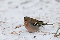 Buchfink, Buch-Fink, an der Vogelfütterung, Fütterung im Winter bei Schnee, frisst Körner am Boden, Winterfütterung, Fringilla coelebs, chaffinch