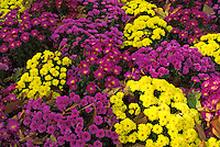 Colorful flowers blooming during autumn in the Tuileries Garden, Paris, France.