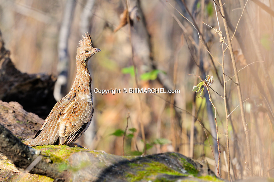 00515-074.13 Ruffed Grouse is on drumming log during fall.  Male, drum, court, breed, territory.
