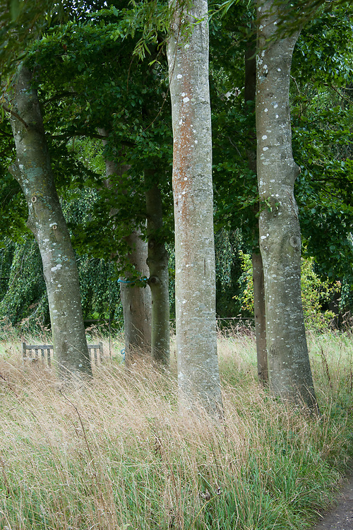 Beech trees, Glyndebourne, early September.