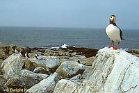 MC23-011z  Atlantic Puffin - on rocks at Machias Seal Island, Bay of Fundy - Fratercula arctica
