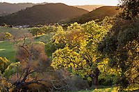 Oak trees (Quercus lobar and Q. agrifolia) backlit at sunset on Mt. Burdell State Park, California Coastal Range,