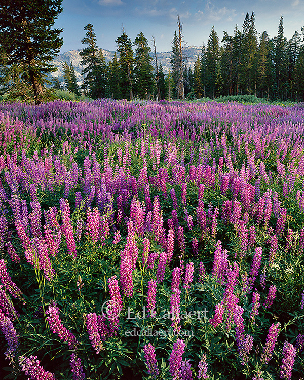 Lupin, Horse Meadow, Emigrant Wilderness, Stanislaus National Forest, Sierra Nevada, California