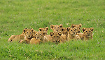 The many young cubs of a lion pride gather together to rest in the grass in the Ngorongoro Conservation Area, Tanzania.