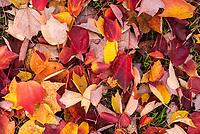 Rotes und gelbes Herbstlaub.<br /> 24.10.2020, Berlin<br /> Copyright: Christian-Ditsch.de