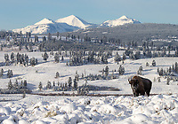 A bison endures a freezing morning in Yellowstone.