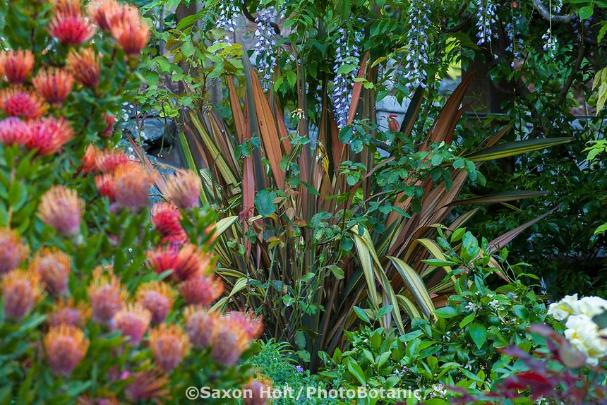 Phormium 'Maori Chief' in Diana Magor Garden with Wisteria on pergola and Leucospermum 'Scarlet Ribbon'