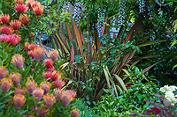 Phormium 'Maori Chief' in Diana Magor Garden with Wisteria on pergola and Leucospermum 'Scarlet Ribbon'