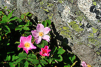SE - Bohuslän<br /> Wild Roses in a skerry cleft<br /> <br /> Full size: 69,3 MB