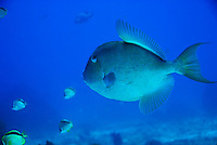 Finescale Triggerfish (Balistes polylepis) swimming, underwater view,, Ecuador, Galapagos Archipelago,