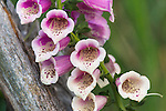 Foxglove - Digitalis purpurea