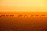 White-bearded Wildebeests at sunrise, Amboseli National Park, Kenya