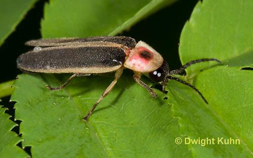 1C24-753z    Pyralis Firefly, Lightning Bug Male,  Photinus spp.