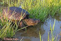 0611-0916  Snapping Turtle Exploring Pond Edge, Chelydra serpentina  © David Kuhn/Dwight Kuhn Photography