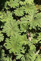 Scented geranium Pelargonium 'Madame Auguste Nonin', apricot fragrant leaves, annual geranium plant