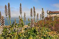 Gardens of Alcatraz with Bear's Breech, Acanthus mollis