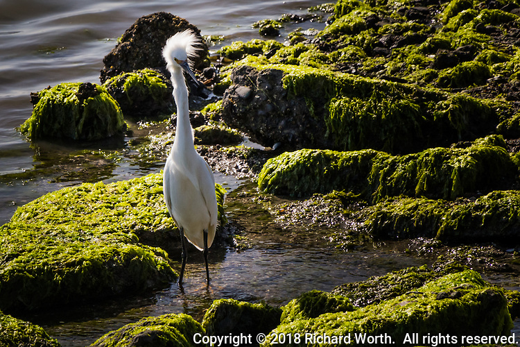 A Snowy egret with its back to the wind has its feathers ruffled while searching for food at MLK Regional Park in Oakland, California.