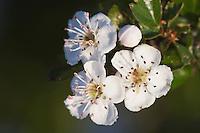 Common Hawthorn, Crataegus monogyna, blossom, National Park Lake Neusiedl, Burgenland, Austria, Europe