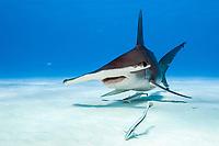 great hammerhead shark, Sphyrna mokarran, endangered species, Bimini, Bahamas, Atlantic Ocean
