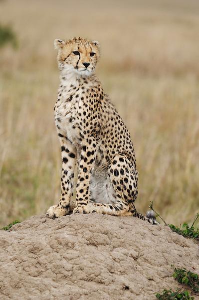 Cheetah (Acinonyx jubatus), adult sitting on hill, Masai Mara, Kenya, Africa