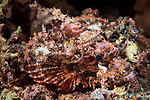 Florida Islands, Solomon Islands; a Papuan scorpionfish hiding amongst the coral reef at night