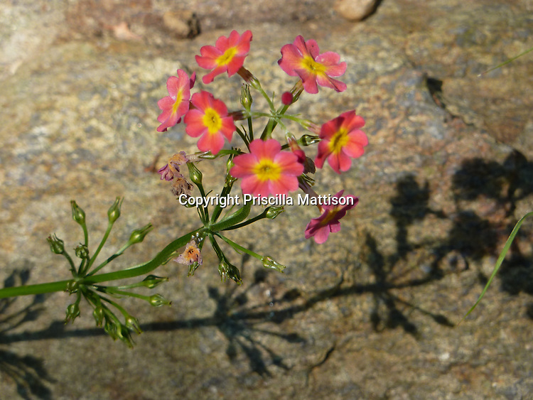 A pink and yellow primrose casts a shadow on a rock.