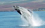 Maui Humback Whale.Copyright Debbie VanStory  / Hawaiian Exposures