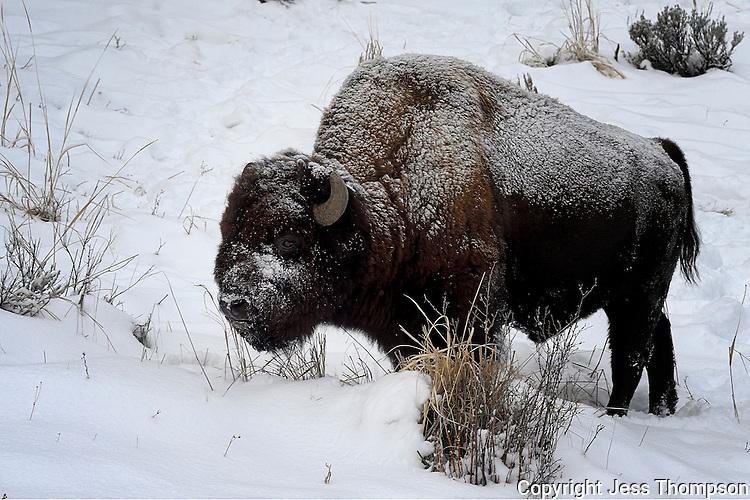 Buffalo in snow, Yellowstone