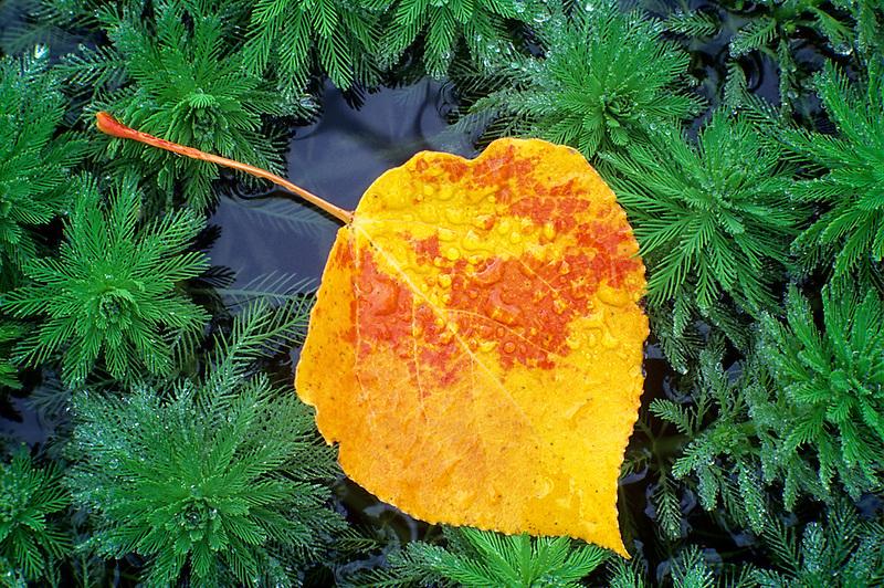 Aspen Leaf in pond weeds. Near Alpine, Oregon.