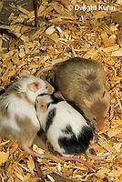 MU50-013x  Pet Mouse - genetic color variation