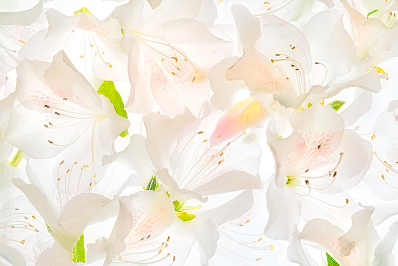 Close up of white azalea blossoms. Oregon