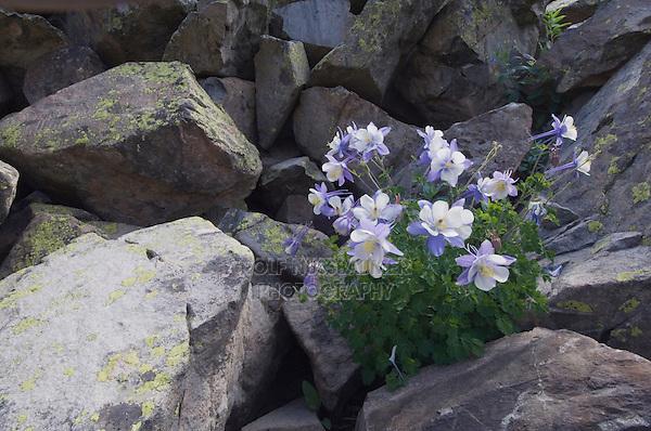 Blue Columbine,Colorado Columbine,Aquilegia coerulea, Yankee Boy Basin, Ouray, San Juan Mountains, Rocky Mountains, Colorado, USA, July 2007