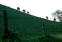 Cattle on hillside<br />