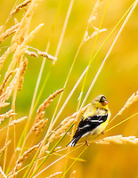 Gift card photo (set of 4) of American Goldfinch in tall grass of Ridgefield National Wildlife Refuge