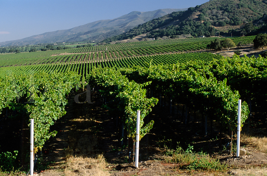 WINE GRAPES ripen on the vines of CLONINGER VINYARDS in the SANTA LUCIA HIGHLANDS - MONTEREY COUNTY, CALIFORNIA
