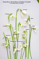 Snowdrops studio (Galanthus), cut flower variety mixture in winter spring bulb bloom, ready for pressing pressed flower arrangement. Varieties include (from top left clockwise, exteriors): Viridapice, John Gray, Merlin, Galanthus nivalis, Galanthus ikarieae, Scharlockii (twice), again Viradipce. In center from top, clockwise: Atkinsii, Ophelia (twice), Galatea.