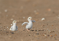 Least Tern (Sterna antillarum), young tern running, Port Isabel, Laguna Madre, South Padre Island, Texas, USA