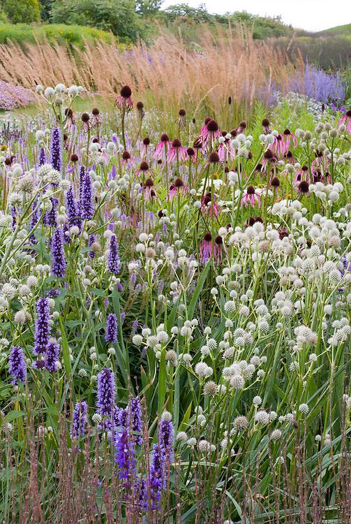 Agastache 'Black Adder' + Eryngium yuccifolium + Echinacea pallida, ornamental grass, Piet Oudolf border design, prairie style garden landscaping