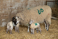 2-3-2021 Ewe with lambs in a straw yard <br />  ©Tim Scrivener Photographer 07850 303986<br />      ....Covering Agriculture In The UK....