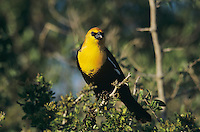 Yellow-headed Blackbird, Xanthocephalus xanthocephalus, male, Welder Wildlife Refuge, Sinton, Texas, USA, April 2005