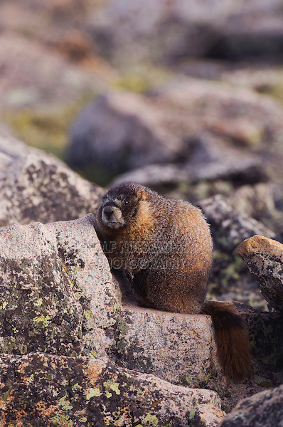 Yellow-bellied Marmot,Marmota flaviventris,adult on rock boulder,Rocky Mountain National Park, Colorado, USA, June 2007