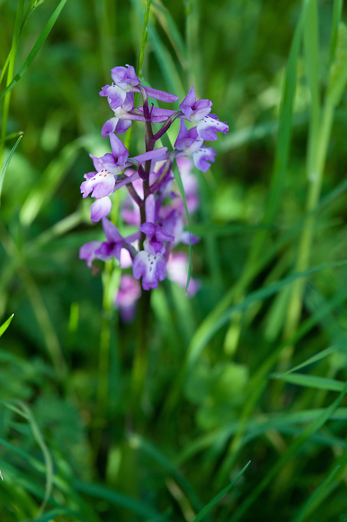 Early purple orchid (Orchis mascula), chalk downland, East Sussex, late May.