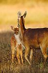 Barasinghas, Kanha National Park, India
