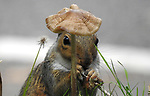 """Pictured: A grey squirrel looks like it's sporting a cap as it stands behind a mushroom.    The rodent then tucks into the fungi after removing the head from its stem and clasping it between its paws. <br /> <br /> The photos were taken by amatuer wildlife photographer Barry Peck, in the garden of his home in Meriden in the West Midlands.    The 43 year old said: """"I noticed the squirrel from the window of my front room feasting on the funi one evening.    SEE OUR COPY FOR DETAILS<br /> <br /> Please byline: Barry Peck/Solent News<br /> <br /> © Barry Peck/Solent News & Photo Agency<br /> UK +44 (0) 2380 458800"""