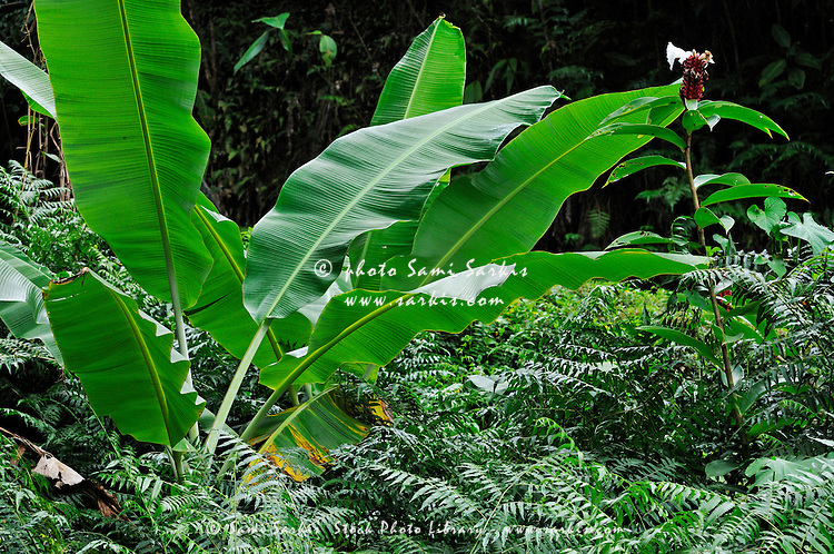Banana tree leaves in tropical garden, close-up, Big Island, Hawaii Islands, United States