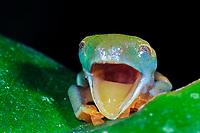 Red-eyed Tree Frog Agalychnis callidryas, juvenile, Selva Verde Nature Reserve, Rio Sarapiqui region, Heredia, Costa Rica